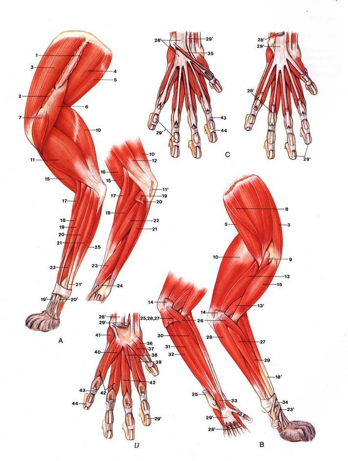 Canine paw anatomy