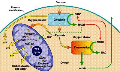 oddychanie komórek